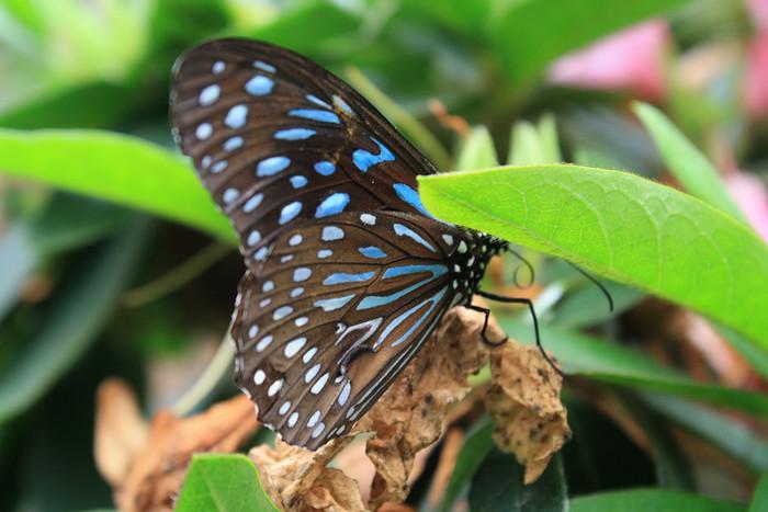 Vlinder Maleisie SL