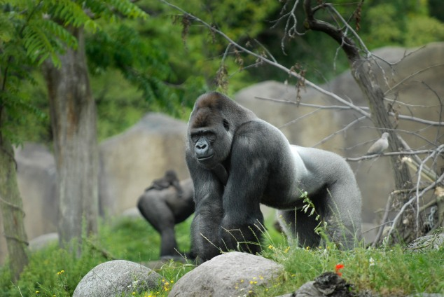 gorilla primaat man Bokito gorilla buitenverblijf